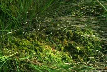 Drei Sphagnen-Arten stufen sich zu einem ersten Bult-Versuch (2002). Foto: Gehlken