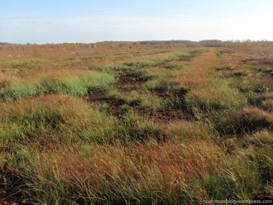 Beet auf Fläche A4 mit einer Reihe von Beständen der Schnabelsegge (Mitte diagonal durch Foto). Rotbraun zeichnet sich das Schmalblättrige Wollgras ab.
