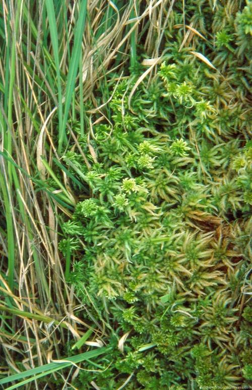 Sphag. papillosum und S. fallax bedrängen einen dichten Bestand von Pfeifengras