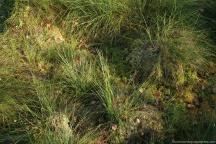 Am Fuße der Wollgrashorste halten sich Reste des Fallax-Rasens; Reste der Bultsphagnen zeigen Sommerbleiche (Albedo)