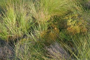 Sphag. cuspidatum (links,gelbgrün), S. fallax (mitte, braun gepunktet), S. palustre (rechts am Bulthang, semmelbraun) S. papillosum (rechts/Bultdach, graugrün)