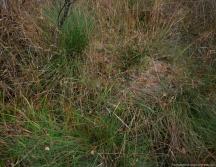 Teile des Schlenkenbodens wird von Sphag. cuspidatum besiedelt (ul); auf dem Bultdach (or) behaupten sich S. papillosum im Zentrum und S. palustre in Randlagen.