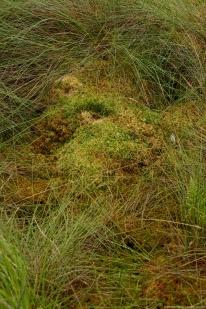 Die Oberfläche des Bultpolsters aus S. fallax (braun gepunktet) und S. papillosum (grün) ist an mehreren Stellen auffällig eingebrochen
