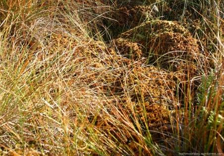 Das Polster von Sphag. fallax ist im Vergleich zum Sommer (s. vorherige Bildfolge) noch stärker eingebrochen