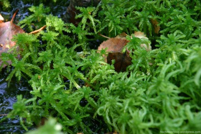 Dieses Torfmoos liebt Nährstoffe und gehört zu den Pionieren im Wolfsbruch (Foto) wie in Aschhorn.