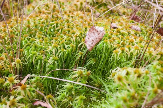 Dauerhaft hohe Feuchtigkeit vorausgesetzt, breitet sich S. fallax zu weitläufgigen, dicken Teppichen aus
