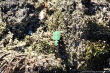 Der Feldsandlaufkäfer war schon unterwegs. Spinnen und Mücken dienen ihm als Nahrung, die auch bereits aktiv sind.