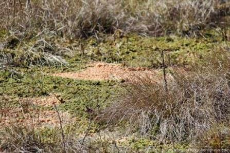 Große hellbraune Flecken kennzeichnen den Pilzbefall des Torfmooses, das hier abstirbt. Wir hoffen, dass der Befall nicht auf die Moose des Regenmoores übergreift.