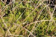 Überall schiebt sich das Torfmoos aus der Grasvegetation hervor.