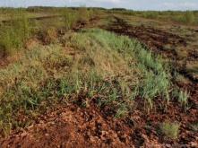 Die Schnabelsegge zeigt sich in den üppig wachsenden kleinen Beständen und dürfte durch den Wassereinstau gefördert werden. Sie ist kennzeichnend für Schlenken und Seebleecke im Moor.