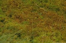 Einen dichten Teppich bildet schließlich das Trügerische Torfmoos Sphagnum fallax, wie hier im Wolfbrucher Moor, doch die Fülle ist anfällig für Krankheiten.