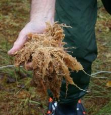 Unterhalb des Moorwasserspiegels kommen verblasste Moospflanzen und der Rest einer Birkenwurzel zu Tage