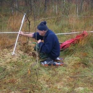 50 cm messen wir für die Moosschichten von der Schlammsohle mit den Wollgrasresten von 2006 und früher bis zur Bultspitze des Jahres 2016